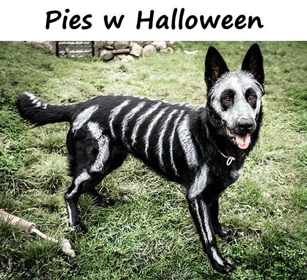 Pies w Halloween